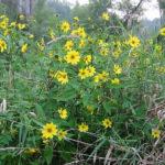 Small-headed Sunflower, Small Woodland Sunflower - Helianthus microcephalus