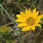 Fewleaf Sunflower, Western Sunflower - Helianthus occidentalis