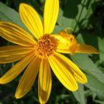 Pale-leafed Sunflower, Paleleaf Woodland Sunflower - Helianthus strumosus