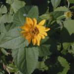 Early Sunflower, Smooth Oxeye - Heliopsis helianthoides 1