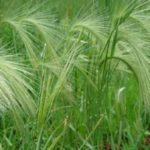 Squirrel-tail Grass, Foxtail Barley - Hordeum jubatum