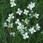 Bluets, Quaker Ladies - Hedyotis caerulea (Houstonia caerulea)