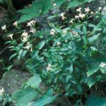 Venus' Pride, Large or Mountain Houstonia - Houstonia purpurea (Hedyotis purpurea)