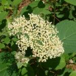 Smooth Hydrangea, Wild Hydrangea - Hydrangea arborescens 2