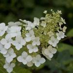 Oak-leaf Hydrangea - Hydrangea quercifolia 2