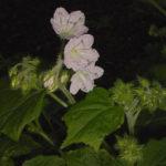 Waterleaf, Great Waterleaf - Hydrophyllum appendiculatum