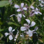 Purple Rocket - Iodanthus pinnatifidus