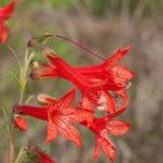 Standing Cypress, Scarlet Gilia - Ipomopsis rubra 2