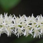 Virginia Sweetspire, Virginia Willow - Itea virginica 5