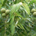 Black Walnut, Eastern Black Walnut - Juglans nigra