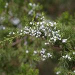 Eastern Red-cedar, Redcedar - Juniperus virginiana 4