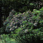 Mountain Laurel - Kalmia latifolia