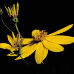 Large Tickseed - Coreopsis major