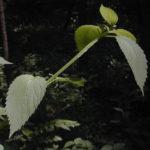 Late Figwort, Carpenter's Square - Scrophularia marilandica