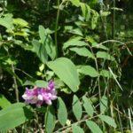Veiny Pea, Wild Sweet Pea, Bushy Vetch - Lathyrus venosus