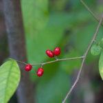 Spicebush, Common Spicebush - Lindera benzoin
