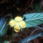 Seedbox - Ludwigia alternifolia