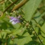 Mad-dog Skullcap, Blue Skullcap - Scutellaria lateriflora