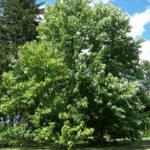 Cucumbertree - Magnolia acuminata