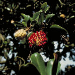 Southern Magnolia, Bull Bay, Evergreen Magnolia - Magnolia grandiflora 3
