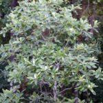 Sweetbay Magnolia, Laurel Magnolia, Swamp Magnolia - Magnolia virginiana