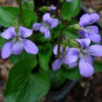Marsh Blue Violet - Viola cucullata 2