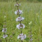 Wild Mint, Field Mint - Mentha arvensis