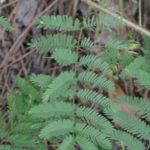 Sensitive Plant, Sensitive-Briar, Little-leaf Mimosa - Mimosa microphylla (Schrankia uncinata)