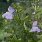 Monkey Flower, Sharpwing Monkeyflower - Mimulus alatus