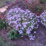 Mist Flower - Conoclinium coelestinum (Eupatorium coelestinum)