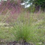 Pink Muhly, Pink Hair Grass - Muhlenbergia capillaris