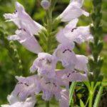 Narrow-leaved Obedient Plant - Physostegia angustifolia