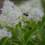 New Jersey Tea - Ceanothus americanus 4