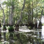 Water Tupelo, Cotton Gum, Tupelo Gum - Nyssa aquatica 4