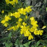 Sundrops, Narrowleaf Evening Primrose - Oenothera fruticosa 3