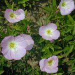 Showy Evening Primrose - Oenothera speciosa 2