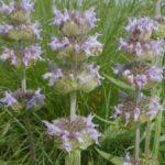 Ohio Horsemint, Downy Wood Mint, Downy Pagoda-plant - Blephilia ciliata