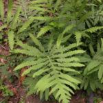 Sensitive Fern, Bead Fern - Onoclea sensibilis
