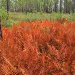 Cinnamon Fern - Osmunda cinnamomea (Osmundastrum cinnamomeum) 5
