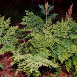 Royal Fern, Flowering Fern - Osmunda regalis 5