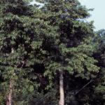 American Hophornbeam, Ironwood, Eastern Hophornbeam - Ostrya virginiana 3