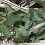 Violet Wood Sorrel - Oxalis violacea 2