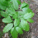 Sourwood, Sorrel Tree, Lily-of-the-Valley Tree - Oxydendrum arboreum 3