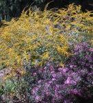 Rough-stemmed Goldenrod, Wrinkleleaf Goldenrod - Solidago rugosa 4