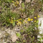Round-leaved Ragwort, Roundleaf Groundsel, Squaw Weed, Golden Groundsel - Packera obovata (Senecio obovatus) 3
