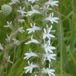 Pale Spiked Lobelia, Palespike Lobelia - Lobelia spicata 2