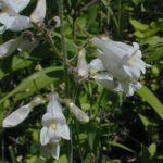 Pale Beardtongue, Pale Penstemon - Penstemon pallidus 2