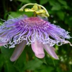Passion-flower, Maypop - Passiflora incarnata 3