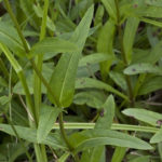 Eastern Smooth Beardtongue - Penstemon laevigatus