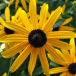 Perennial Black-eyed Susan, Orange Coneflower - Rudbeckia fulgida